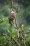 USA, Alaska, bald eagle perching on tree branch in the rain, Redoubt Bay