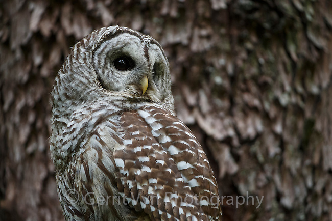 Barred Owl (Strix varia). King County, Washington. May.