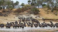 Cape buffalo in the Sand River at MalaMala.