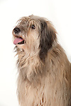 Catalan Sheepdog, Female, Head Study, Studio, White Background