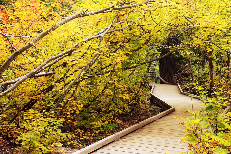 Boardwalk trail through fall colored vine maple, Grove of the Patriarchs Trail, Mount Rainier National Park, Washington, USA