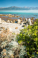 Rocky coast of Kaikoura coastline with Kaikouras mountains in background and coastal vegetation, Kaikoura, Marlborough Region, South Island, East Coast, New Zealand