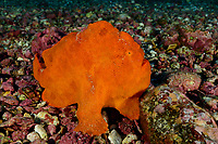 Antennarius commerson, Riesen Anglerfisch, Giant frogfish, Insel Cocos, Costa Rica, Pazifik, Pazifischer Ozean, Cocos Island, Costa Rica, Pacific Ocean