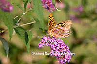 03322-017.01 Great Spangled Fritillary (Speyeria cybele) on Butterfly Bush (Buddleia davidii) Marion Co. IL