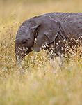 African elephant calf, Masai Mara National Reserve, Kenya