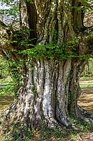 France, Loir-et-Cher (41), Cheverny, château et jardin de Cheverny en avril, vieux charme (Carpinus betulus)