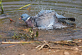 Wood Pigeon (Columba palumbus) Bathing at waters edge. As with all birds feathers need to be kept in top condition to aid flight and protection. Bathing regularly is part of the birds strategy in keeping feathers in top condition.