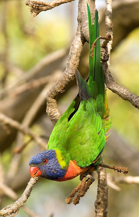 Rainbow Lorikeet 01 - Rainbow Lorikeet (Trichoglossus haematodus moluccanus), also known as Swainson's Lorikeet, in King's Park, Perth, Western Australia