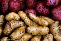 HS05-025c  Potato - Banana and Norland varieties