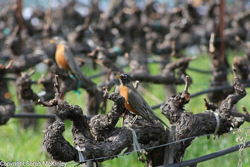 Robins perch on old, gnarled grapevines at Mondavi Vineyard near Napa in Napa County in Northern California.