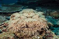 tasseled wobbegong, Eucrossorhinus dasypogon, Triton Bay, West Papua, Indonesia, Pacific Ocean
