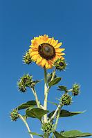 Outstanding sunflower.