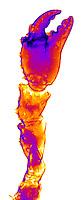 An x-ray of an Alaskan King Crab claw.
