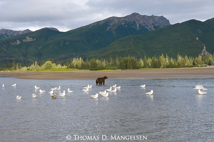 Gulls flock near a brown bear standing in a stream in Lake Clark National Park, Alaska.
