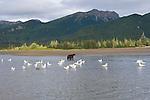 Gulls flock near a brown bear standing in a stream in Lake Clark National Park, Alaska.