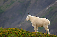 A mountain goat along Exit Glacier from the Harding Icefield Trail, Kenai Fjords National Park, Alaska.
