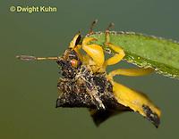 AM01-638z  Ambush Bug male, Phymata americana