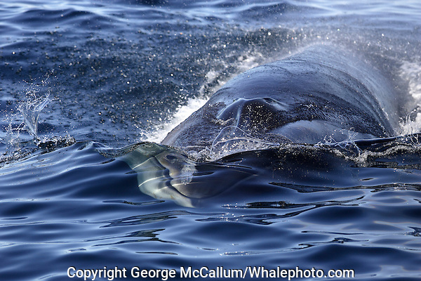 Fin Whale Balaenoptera physalus close up of head surfacing Spitsbergen Barents sea North Atlantic