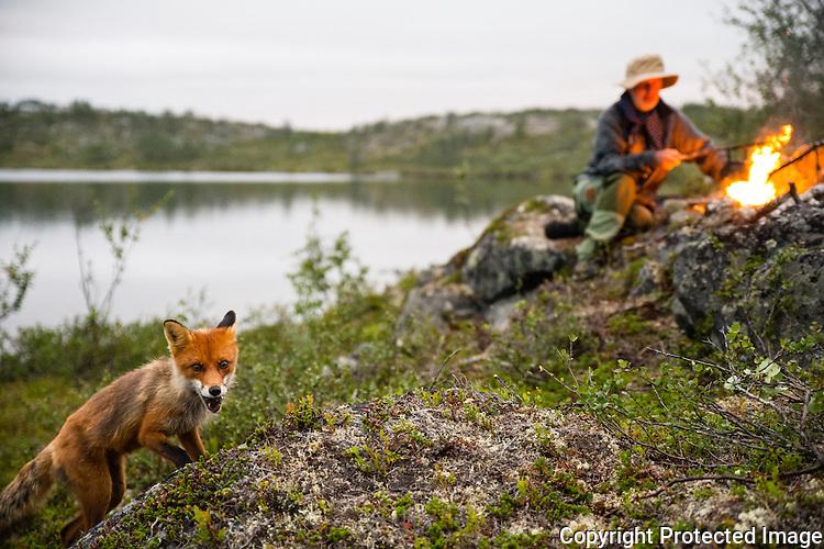 Mann og rødrev i leiren i gallok. ---- Man and fox in camp.