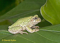 "0916-07zz  Gray Tree Frog - Hyla versicolor ""Virginia"" © David Kuhn/Dwight Kuhn Photography"