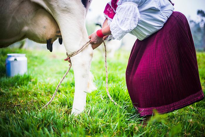 Indiginous Cayambe Lady tying together her cows legs ready for milking, Zuleta Farm, Imbabura, Ecuador, South America