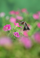 Ruby-throated Hummingbird (Archilochus colubris), male in flight feeding on Petunia  flowers, Hill Country, Texas, USA