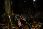 White-lipped Peccary (Tayassu pecari) herd in tropical rainforest, Cocobolo Nature Reserve, Mamoni Valley, Panama