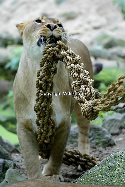 Foto: VidiPhoto..RHENEN - Scoubidou in de dierentuin. In het kader van verrijking van de leefomgeving voor de leeuwen werden donderdag in Ouwehands Dierenpark in Rhenen touwen gevlochten volgens de scoubidoumethode. De kunstwerken werden daarna voor de leeuwen geworpen, die zich er met de nodige nieuwsgierigheid over ontfermden. Ouwehands probeert steeds wat nieuws te bedenken voor de roofdieren om verveling en onderlinge ruzies te voorkomen.