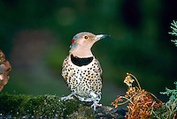 Female flicker, Colaptes auratus, woodpecker perches on branch, Missouri