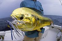 dorado fishing, mahi mahi, dolphin fish, Coryphaena hippurus, offshore, Key West, Florida Keys, Florida, USA, Caribbean Sea, Atlantic Ocean