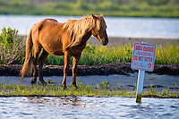 """Wild horse at Assateague Island, Maryland eyes an """"Area Closed - Do Not Enter"""" sign posted for the protection of endangered species."""