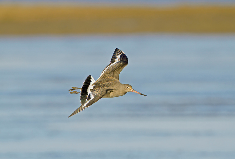 Black-tailed Godwit Limosa limosa L 38-42cm. Long-legged wader with long, straight bill. In flight, has black tail, white rump and white wingbars on upperwing. Sexes are dissimilar in summer. Adult male in breeding plumage has reddish orange face, neck and breast. Greyish back is spangled with reddish brown and belly is whitish with barring on flanks. Adult female in breeding plumage is similar but reddish elements of plumage are less intense. Winter adult is grey-brown, palest on belly; undertail is white. Juvenile recalls winter adult but has orange suffusion on neck and breast and pale fringes and dark spotting on back feathers. Voice Utters a kwe-we-we call in flight. Status Rare British breeder; Ouse and Nene Washes are strongholds and favours wet grassland. Icelandic migrants boost numbers outside breeding season; locally common on muddy estuaries.