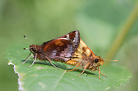 Zabulon Skippers, mating,PA, Valley Forge National Historical Park