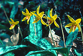 Trout Lily - Erythronium americanum, in the Upper Peninsula of Michigan.