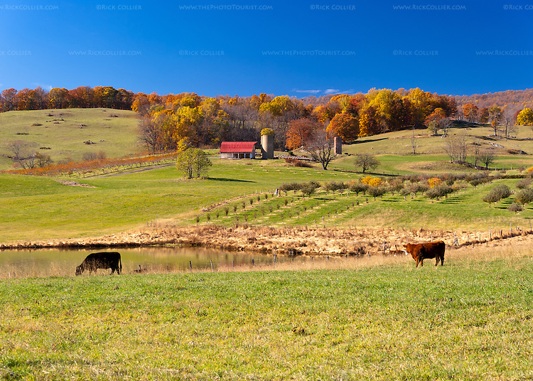 Cows graze peacefully, overlooking a lake and orchards of the farm beyond.