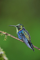 Green-Crowned Woodnymph (Thalurania fannyi), male perched,Mindo, Ecuador, Andes, South America