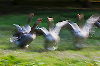 Europe/France/Aquitaine/24/Dordogne/Domme: Elevage d'oies à La Ferme de Turnac