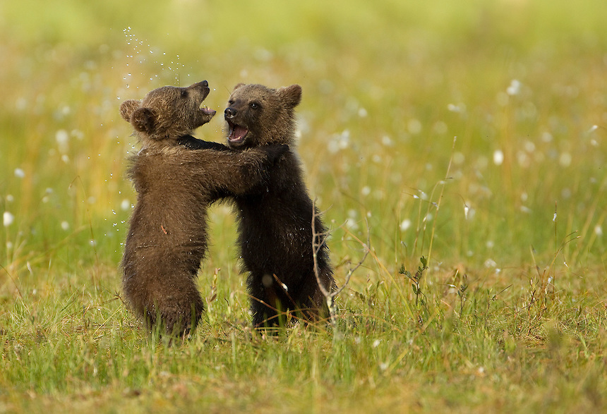 Brown Bear (Ursos arctos), cubs play fighting, Finland, July 2012