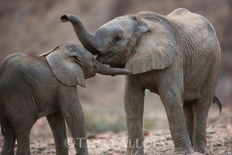 Namibia;  Namib Desert, Skeleton Coast,  desert elephant calves (Loxodonta africana) playing