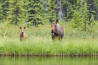 Cow and calf moose along lakeside shore, Flat lake, Alaska.