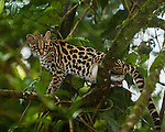 A wild Margay cat, Leopardus wiedii, in a tree near Arenal, Costa Rica.  Margays are mostly nocturnal and live in the trees.  They are about the size of a large house cat.
