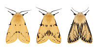 72.019 (2061)<br /> Buff Ermine - Spilosoma lutea<br /> left=typical form<br /> middle= northern form<br /> bottom= aberrant form