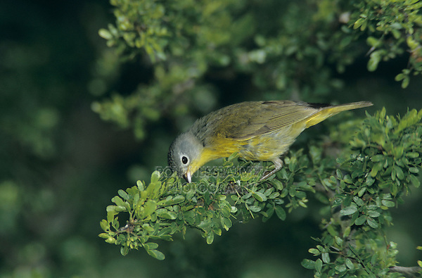 Nashville Warbler, Vermivora ruficapilla, male, South Padre Island, Texas, USA, May 2005