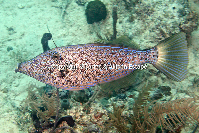 Aluterus scriptus, Scrawled filefish, Florida Keys