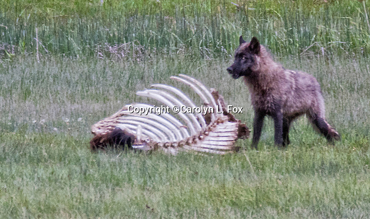 A young wolf stands next to a bison carcass in Yellowstone National Park.