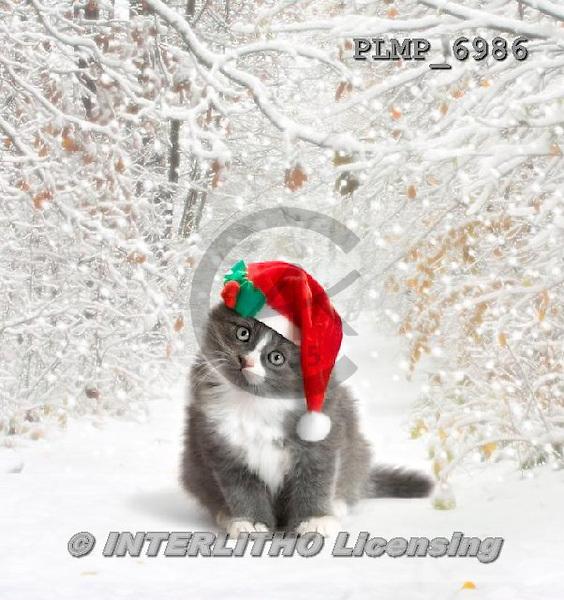 Marek, CHRISTMAS ANIMALS, WEIHNACHTEN TIERE, NAVIDAD ANIMALES, photos+++++,PLMP6986,#XA# cat  santas cap,