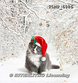 Marek, CHRISTMAS ANIMALS, WEIHNACHTEN TIERE, NAVIDAD ANIMALES, photos+++++,PLMP6986,#XA# cat  santas cap,