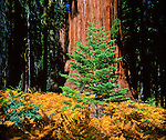 Giant Sequoia (Sequoiadendron giganteum); also Sierra redwood, Sierran redwood, or Wellingtonia; coniferous redwoods native only to groves on western slopes of Sierra Nevada Mountains. World's largest trees in terms of volume; grow to average height of 160–279 ft (50–85m)  and 20-26 ft (6–8m) in diameter. Record trees 311 ft (94.8 m) tall and over 56 ft (17m) in diameter. Regenerate by seed only; require periodic fires to clear competing vegetation. Sequoia National Park, est. 9/25/1890; 404,051 acres (1,635 km2). Tulare County, CA.