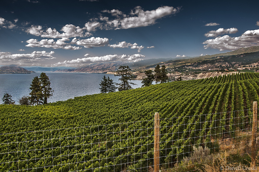Fine Art Landscape Photograph of the vineyards overlooking Lake Okanagan and the mountains in British Columbia Canada.