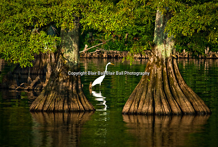 Egret waiting to catch his evening dinner on Reel Foot Lake. Near Tiptonville, TN. Reel Foot Lake